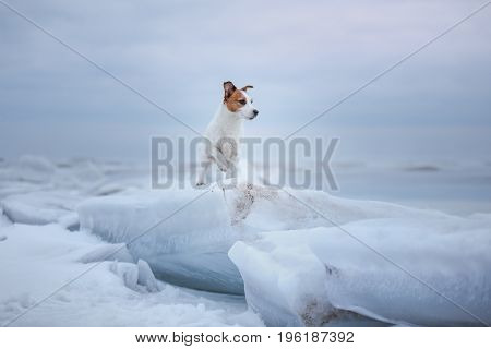 Dog Jack Russell Terrier sitting on an ice floe in the middle of the frozen lake