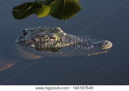 American Alligator (mississippiensis) swimming in the Florida Everglades