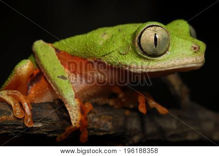 A brazilian green tree frog found in the wild.