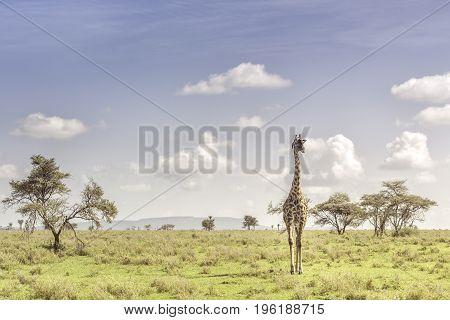 Baby Giraffe In The Serengeti, Tanzania, Africa