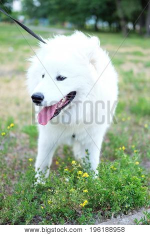 White Samoyed laika girl dog in the park outdoor in summer. Large breed herding dog.