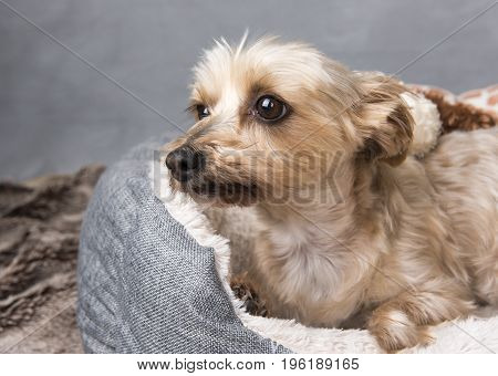 Beautiful Yorkshire terrier laying down in her basket