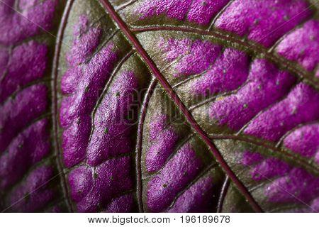 Purple Leaf Background  Leaf Background