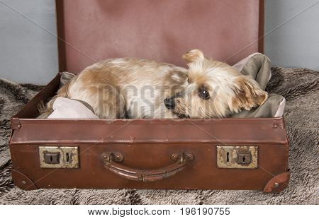 Beautiful Yorkshire terrier laying down in an old fashioned suitcase