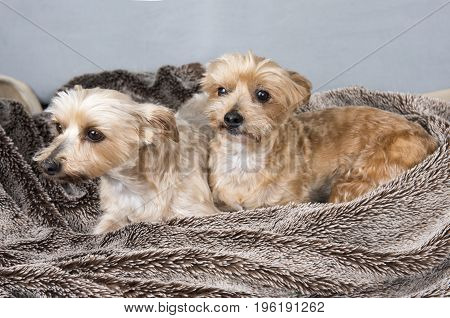 Two Yorkshire terriers laying down on a brown blanket