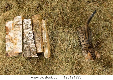 On the hay are firewood and on the right runs the kitten
