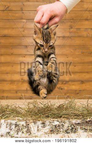 The kitten was taken by the scruff on the background of a wooden wall