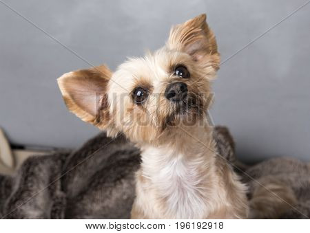 Portrait image of a Yorkshire terrier looking up