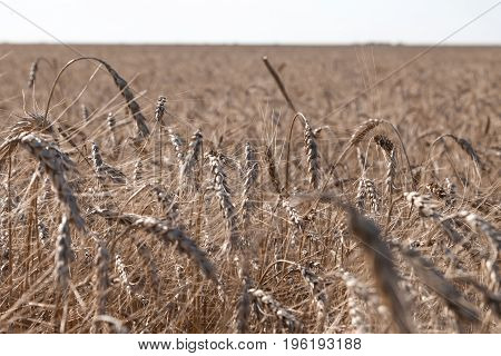 Grain Close Up, Wheat Field. Farming And Agriculture. New Harvest On Wheat Field.