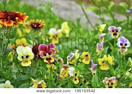 Bright colorful pansy flowers on a background of the summer landscape.