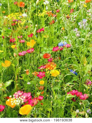 Closeup of a beautiful wildflower meadow with vibrant and colorful flowers illuminated by the sun.