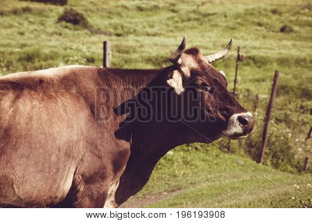 Dairy cow on summer green grass. Farm animal. Rural landscape. Farming concept. Georgian meadow. Copy space. Georgia. Ecotourism. Mountain valley. Graze cattle. Lush pasture. Horns, Head close up