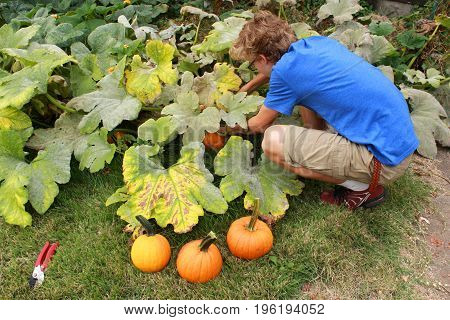 A boy in a blue t-shirt harvests pumpkins grown in a garden in front of his suburban home in the Midwest United States of America.
