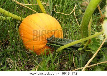 Pumpkin growing on vine in a suburban home garden pumpkin patch before harvest.