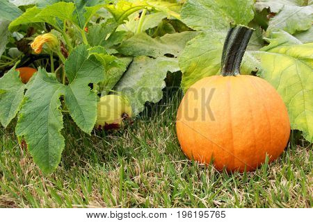 A harvested pumpkin sits near a vine and two growing pumpkins in a suburban home garden pumpkin patch showing the vine a tendril leaves flower buds and two pumpkins at separate stages of development before harvest.