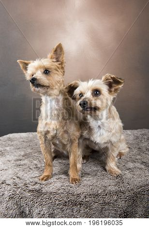 Two beautiful Yorkshire terriers sitting in front of a golden background