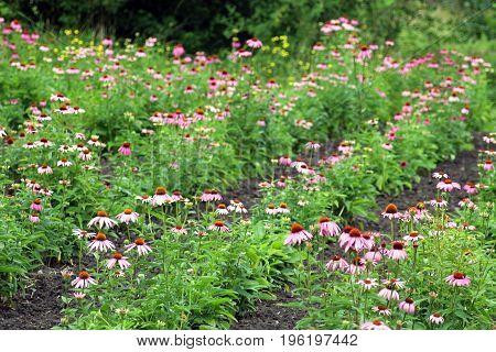 field with purple cone-flower echinacea purpurea medicinal plant