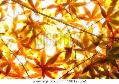 Oranges leaves over exposed and soft focus with sunlight passing through them.