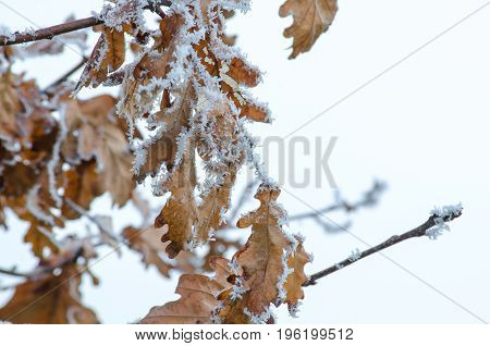 Hoarfrost on the leaves in the winter.