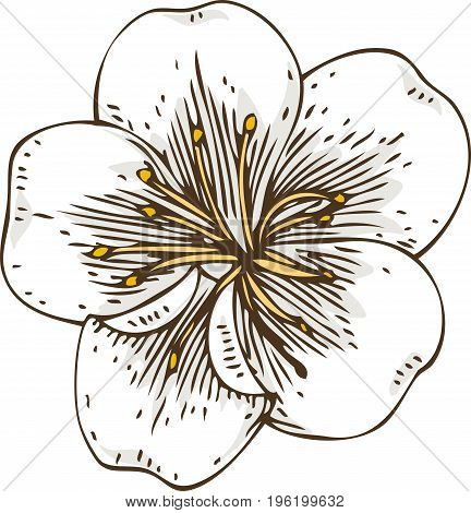 Isolated White Apricot or Cherry Flower with Yellow Stamens