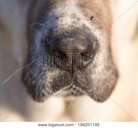 Black at the nose of a big dog. macro