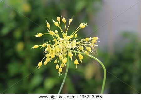 Close-up view of yellow flower Allium flavum in the organic garden on sunny day.