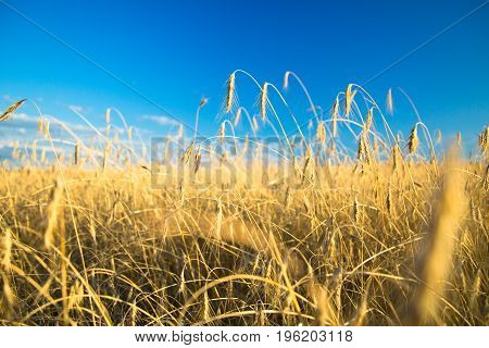 Rye field on sunset against blue sky. Selective focus. Agricultural background with ripe spikelets of rye.