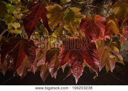Big red autumn leaves on a church wall at night, Kalemegdan fortress in Belgrade, Serbia