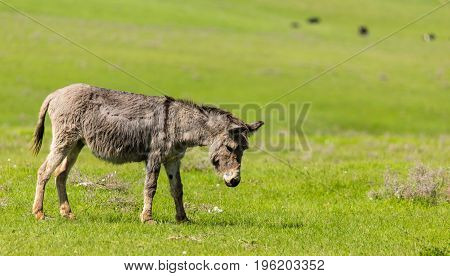 A donkey grazes pasture in a field with grass .