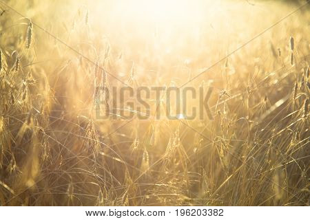 Rye field on sunset. Selective focus. Agricultural background with ripe spikelets of rye.