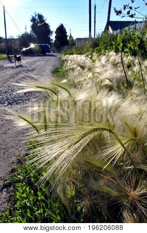 beautiful grass feather against the evening sunlight