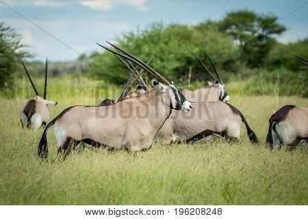 Herd Of Gemsbok Standing In The Grass.