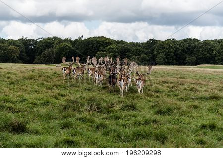 A herd of fallow deers in the wood (Dama dama) in Denmark
