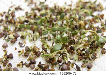 Salad Sprouts From Seeds