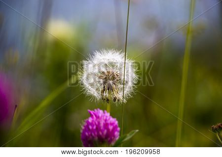 Dandelion, beautiful flower on a green glade, Plants in the wild nature