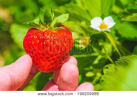 Holding a perfect fresh plucked strawberry over green leaves and further blossom.