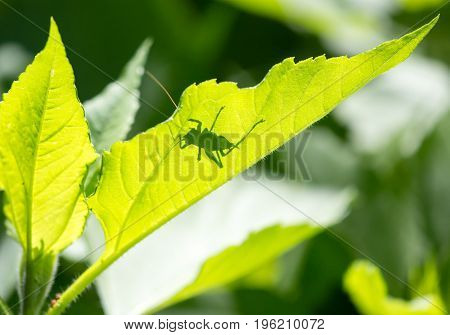 Grasshopper on a green leaf in the open air .
