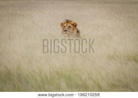Head Of A Male Lion Sticking Out Of The Grass.