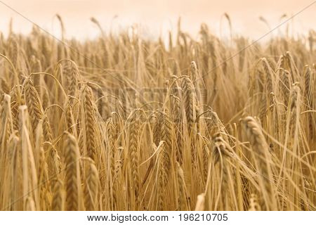 cornfield landscape with blue sky in summer