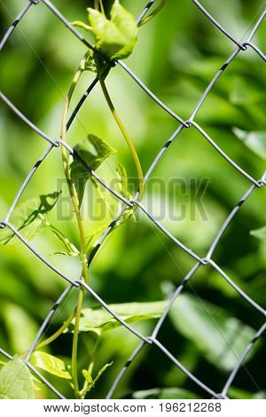 Green plant behind a metal grid of a fence .