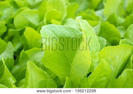 Fresh lettuce leaves with drops after a rain
