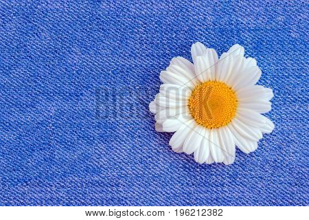 One chamomile on a bright blue jeans background