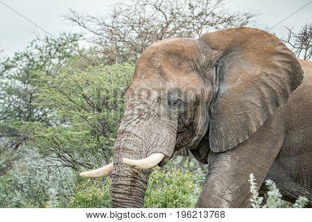 Side Profile Of A Big Elephant.