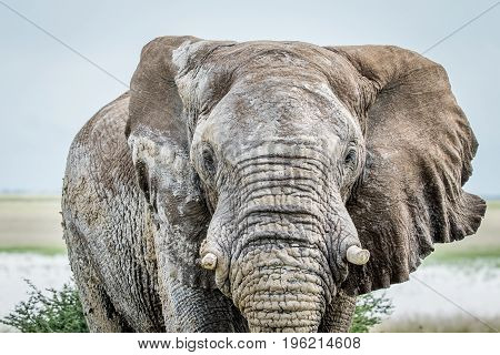 Close Up Of A Big Elephant Bull.
