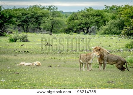 Lion Mating Couple Bonding In The Grass.