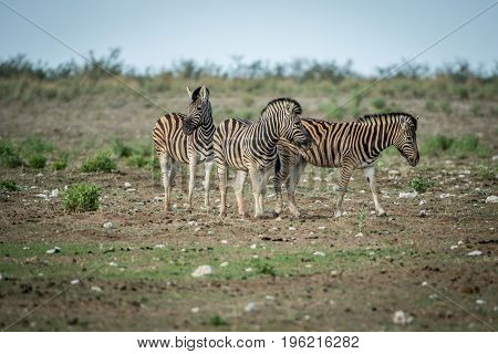Herd Of Zebras Standing In The Grass.