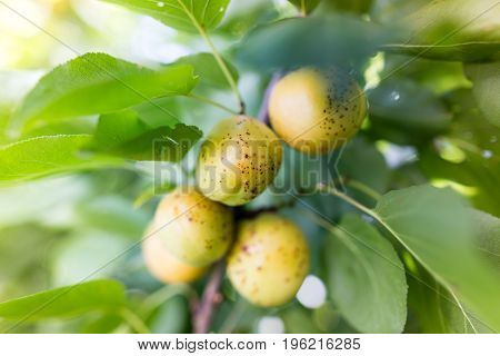 Ripe juicy apricot on a tree branch