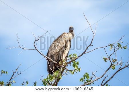White-backed Vulture Sitting In A Tree.