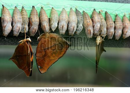 Leafwing butterflies emerged from their cocoons to start a new lifecycle.