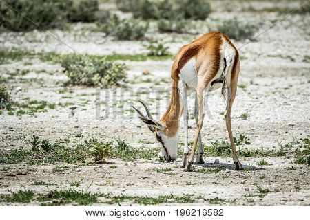 Springbok Eating Grass In Etosha.